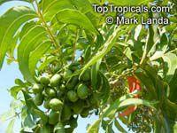 Harpephyllum caffrum, Wild Plum  Click to see full-size image