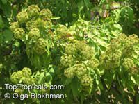 Heteromorpha arborescens, Parsley Tree