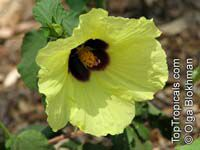 Hibiscus panduriformis, Yellow Hibiscus  Click to see full-size image