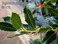 Ilex opaca , American Holly   Click to see full-size image