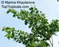 Intsia bijuga, Vesi, Merbau, Borneo Teak, Island Teak  Click to see full-size image