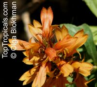 Isoplexis canariensis , Canary Island Foxglove  Click to see full-size image