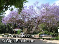 Jacaranda mimosifolia, Jacaranda acutefolia, Jacaranda  Click to see full-size image
