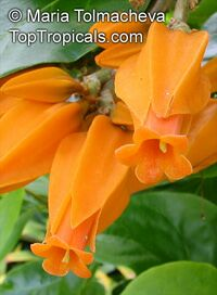 Juanulloa aurantiaca - Gold Finger plant, Mexican Spoon Flower  Click to see full-size image