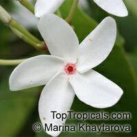 Kopsia singaporensis, White Kopsia, Singapore Kopsia  Click to see full-size image