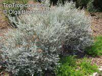 Leucophyllum zygophyllum , Cimmaron, Blue Ranger, Silverleaf  Click to see full-size image