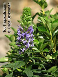 Lobelia siphilitica , Great Blue Lobelia, Blue Cardinal Flower   Click to see full-size image