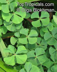 Marsilea quadrifolia, Four Leaf Clover, European Waterclover, Aquatic Fern  Click to see full-size image