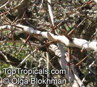 Maytenus senegalensis , Confetti Tree  Click to see full-size image