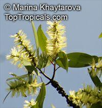 Melaleuca cajuputi, Melaleuca leucadendron , Cajuput Tree, Swamp Tea-treeClick to see full-size image