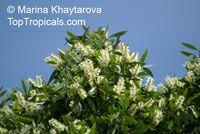 Melaleuca cajuputi, Melaleuca leucadendron , Cajuput Tree, Swamp Tea-tree  Click to see full-size image