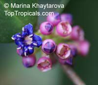 Memecylon caeruleum, Blue Strawberry Flowers  Click to see full-size image