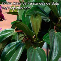 Meriania nobilis, Meriania, Amaraboyo  Click to see full-size image