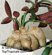 Monadenium rubellum, Monadenium montanum var. rubellum , Red Monadenium  Click to see full-size image