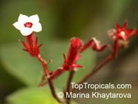 Mussaenda erythrophylla, Ashanti Blood, Red Flag Bush, Tropical Dogwood   Click to see full-size image