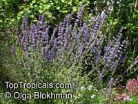 Nepeta curviflora, Syrian Catnip  Click to see full-size image