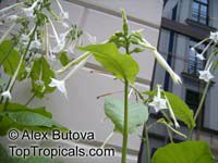 Nicotiana sp., Flowering tobacco  Click to see full-size image