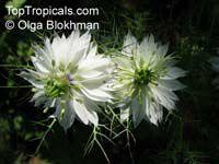 Nigella sp., Black Cumin, Nutmeg Flower, Roman Coriander, Love-in-a-mist  Click to see full-size image