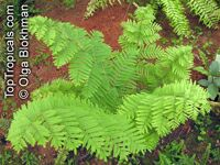 Osmunda regalis, Royal Fern   Click to see full-size image
