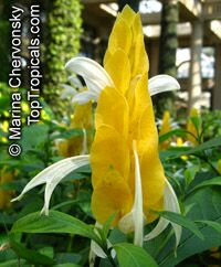Pachystachys lutea, Yellow Shrimp Plant, Golden Shrimp Plant, Lollipop Plant, Candle Plant