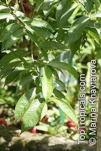 Phaleria macrocarpa, Mahkota Dewa  Click to see full-size image