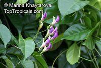 Phryganocydia corymbosa, Macfadyena corymbosa, Spathodea corymbosa , Trinidad Pink Trumpet Vine   Click to see full-size image
