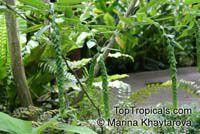 Phyllodium longipes, Desmodium longipes, Phyllodium, Fish Scales  Click to see full-size image