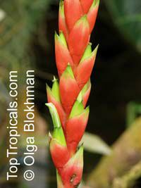 Pitcairnia maidifolia , Bromeliad  Click to see full-size image