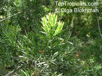 Podocarpus elongatus, Breede River Yellowwood   Click to see full-size image