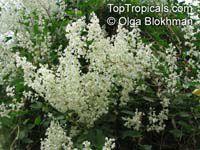Fallopia baldschuanica, Polygonum baldschuanicum, Bilderdykia baldschuanica, Bukhara Fleeceflower, Russian Vine  Click to see full-size image