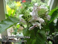 Ruttya ovata , Ruttya  Click to see full-size image