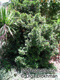 Syzygium australe, Scrub Cherry  Click to see full-size image