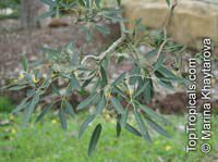 Tabebuia caraiba, Tabebuia argentea, Silver Trumpet TreeClick to see full-size image