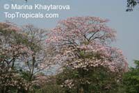 Tabebuia rosea, Rosy Trumpet Tree, Pink Poui, Pink Tecoma Tree  Click to see full-size image