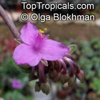 Tradescantia navicularis, Chain Plant   Click to see full-size image