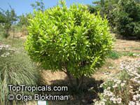 Umbellularia californica , California Laurel  Click to see full-size image