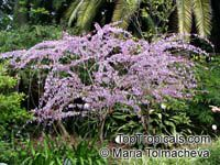 Poitea sp., Retama prieta  Click to see full-size image