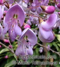 Poitea (Sabinea) sp. - Caribwood (Pink Flower)  Click to see full-size image