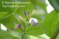 Clitoria fairchildiana, Orchid Tree, Clitorea Tree, Philippine Pigeonwings