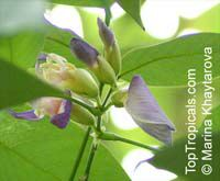Clitoria fairchildiana, Orchid Tree, Clitorea Tree, Philippine Pigeonwings  Click to see full-size image