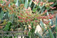 Euphorbia bracteata, Pedilanthus bracteatus, Slipper Plant, Candelilla  Click to see full-size image
