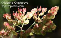 Euphorbia bracteata, Pedilanthus bracteatus, Slipper Plant, CandelillaClick to see full-size image