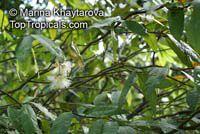 Syzygium puberulum, White Satin Ash  Click to see full-size image