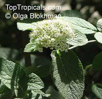 Viburnum sp., Viburnum  Click to see full-size image