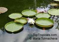 Victoria amazonica, Victoria regia, Amazon Waterlily  Click to see full-size image
