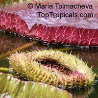 Victoria amazonica, Victoria regia, Amazon WaterlilyClick to see full-size image