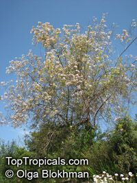 Virgilia oroboides, Virgilia capensis, Blossom tree, Cape Lilac  Click to see full-size image