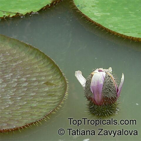 http://toptropicals.com/pics/garden/m1/Podarki5/Wictoria_877TZav.jpg