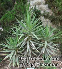 Yucca sp., Yucca, Adams Needle