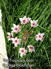 Butomus umbellatus, Flowering Rush  Click to see full-size image